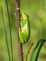 Tree frog in sunshine