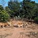 Scène de vaches / Cows scenery (Laos)