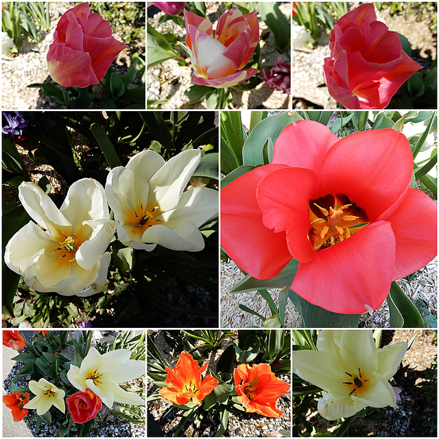 les tulipes en folie
