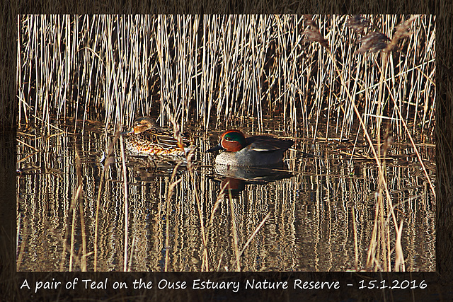 A pair of Teal on the Ouse Estuary Nature Reserve - 15 1 2016