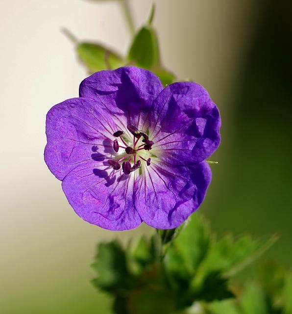 """géranium vivace """"Johnson's blue"""""""