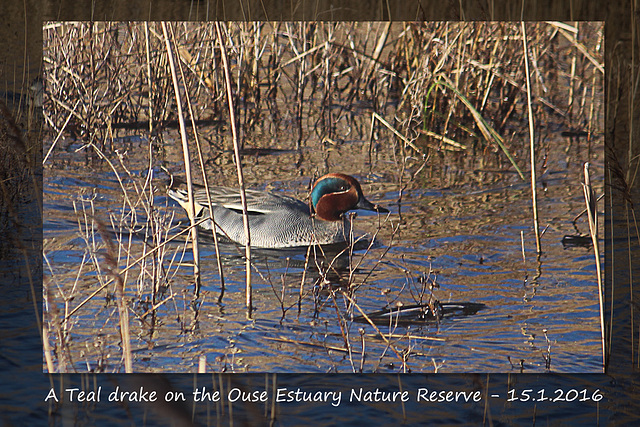 A Teal drake on the Ouse Estuary Nature Reserve - 15.1.2016