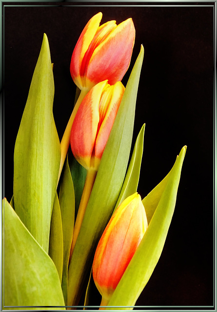 The Three Tulips... ©UdoSm