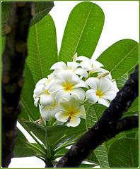 Seychelles : il fiore del fragipani