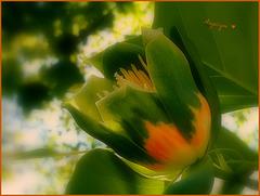 Tulipier de virginie !Bonne fête de L'Ascension !