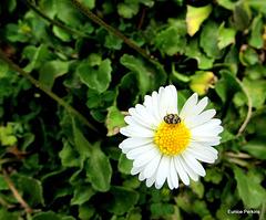 Bug On a Daisy