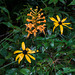 Platanthera ciliaris (Yellow Fringed orchid) with Rudbeckia hirta (Black-eyed Susan)