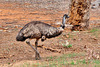 P1270351- Emeu d'Australie - Flinders Ranges.  08 mars 2020