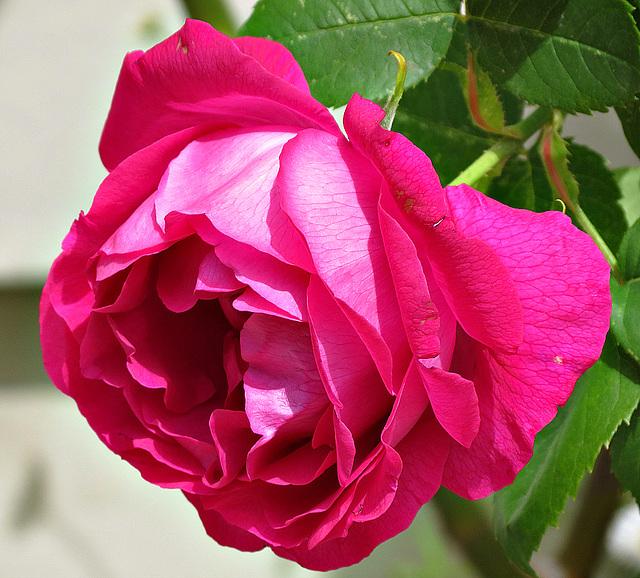 une rose pour vous souhaiter une bonne nuit et un bon mardi