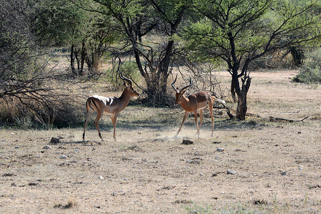 Namibia, Erindi Game Reserve, Preparations for Impala Males Duel