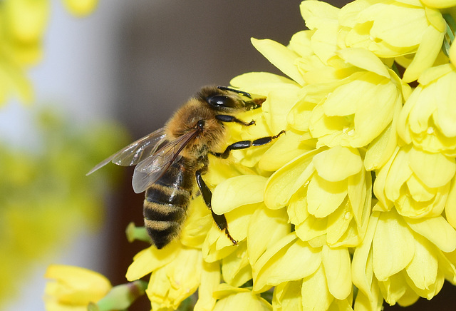 Biene an den Blüten einer Mahonia Winter Sun - 15. Jan. 2020!