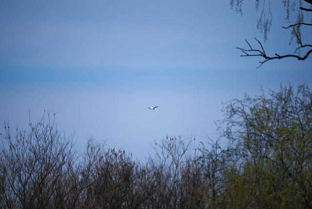 Der fliegende Silberreiher