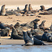 Namibia, The Herd of Brown Fur Seals on the Shores of Walvis Bay