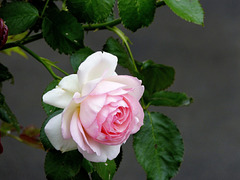 ... rosa ...