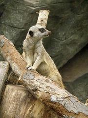 Meerkat at North Carolina Zoo