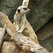 Meerkat at North Carolina Zoo