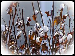 Des bourgeons de neige...