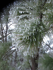 Ice on a pine branch