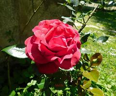 Rose pour vous*****************