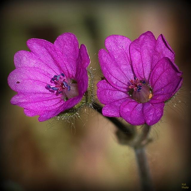 En couleur purpurine, viennent d'éclore ..8mm de diamètre
