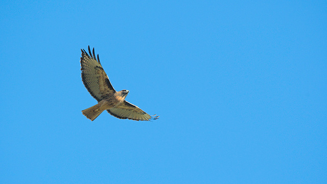 Red tailed hawk on a clear autumn day