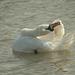 Displaying Swan 02