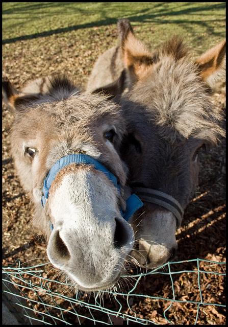 Mememe donkeys I