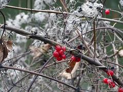 Solanum dulcamara and   Clematis vitalba.