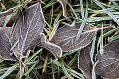 Frosty Ground Cover