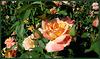 Rose 'Daniel Gelin'