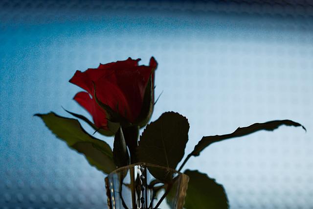 Rose 50 + 14 : La vie en rose