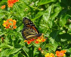 Monarch (Danaus plexippus) 2-8-2018 ~ A second Beauty !