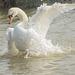 Displaying Swan 05