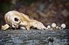 """""""Skull"""" fungus"""
