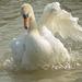 Displaying Swan 07
