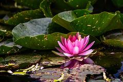Seerose auf dem Dorfweiher ~ Water lily on the village pond