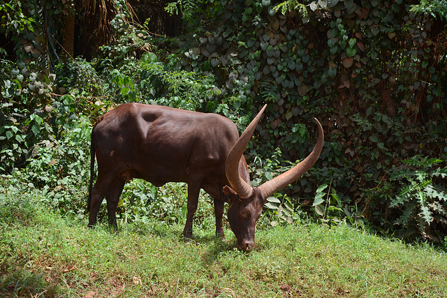 Uganda, Home Cattle
