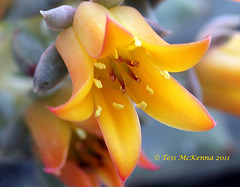 Echeveria  086 copy2
