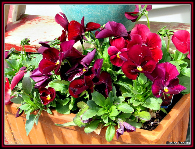 Pansies In A Container