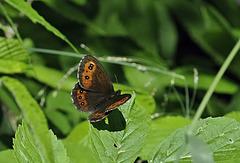 Górówka boruta - Arran brown (Erebia ligea)