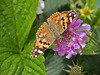 Painted lady.