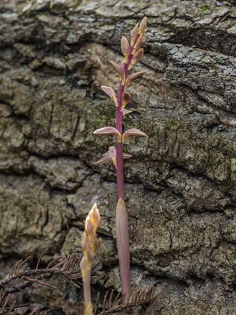 Corallorhiza striata var. striata (Striped Coralroot orchid)