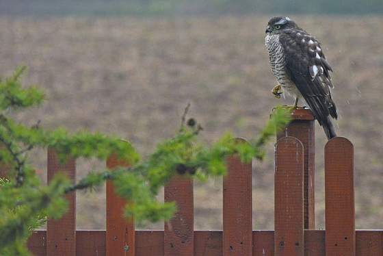 HFF from my Sparrowhawk garden visitor