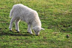 Grün für's Schaf