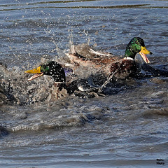 Bagarre de canards