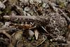 Myrmeleotettix maculatus (Mottled Grasshopper)