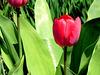 Tulipe du printemps !