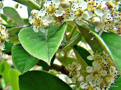 White Tangelo Blossom.