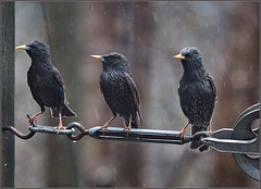 A picket of starlings