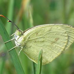 Eurema smilax (Small Grass-yellow)